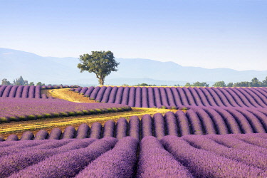 FRA11691AW Europe, France, Provence-Alpes-Cote d'Azur, plateau de Valensole, road winding to a lone tree surrounded by a field of lavender
