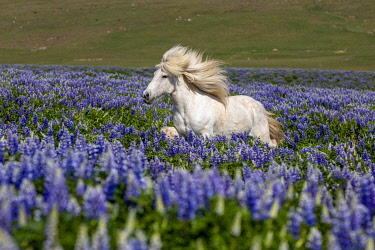 ICE4196AW Iceland, Akureyri, white Icelandic horse runs through a field of lupins
