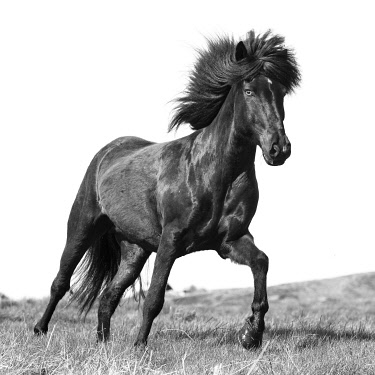 ICE4203AW Iceland, Akureyri, a brown Icelandic stallion runs free