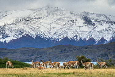 CHI11241AW Guanaco herd in front of snowcapped mountains, Laguna Azul, Torres del Paine National Park, Magallanes Region, Patagonia, Chile