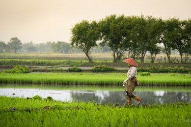 MYA2445AW Full length side view of farmer walking on a rice field near Kengtung, Kengtung Township, Kengtung District, Shan State, Myanmar