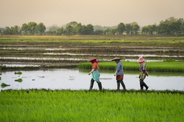 MYA2446AW Full length side view of three farmers walking on a rice field near Kengtung, Kengtung Township, Kengtung District, Shan State, Myanmar