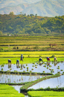 MYA2451AW Farmers working on a rice field near Kengtung, Kengtung Township, Kengtung District, Shan State, Myanmar