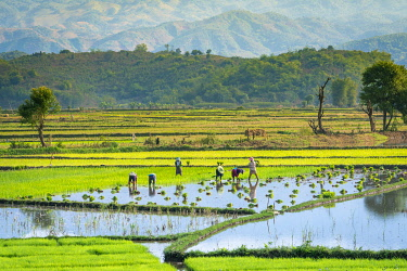 MYA2452AW Farmers working on a rice field near Kengtung, Kengtung Township, Kengtung District, Shan State, Myanmar