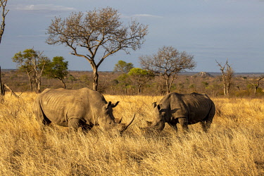 SAF7636 South Africa, Londolozi. White rhino grazing on the plains.