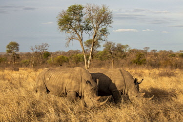 SAF7637 South Africa, Londolozi. White rhino grazing on the plains.
