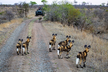 SAF7641 South Africa, Londolozi. Young wild dogs watching the adults flush out a wild boar.