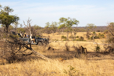 SAF7653 South Africa, Londolozi. Tourists watching cheetahs.