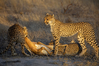 South Africa, Londolozi. Cheetahs feeding on an impala.