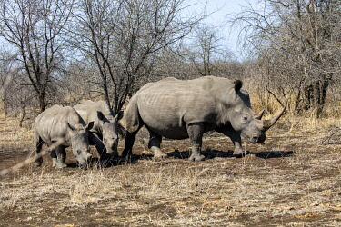 SAF7662 South Africa, Londolozi. Mother rhino and her young.