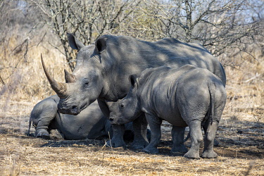 SAF7663 South Africa, Londolozi. Mother rhino and her young.