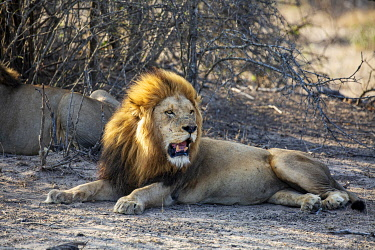 South Africa, Londolozi. Lion on the lookout.