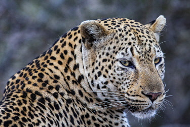 South Africa, Londolozi. Portrait of a beautiful leopard.