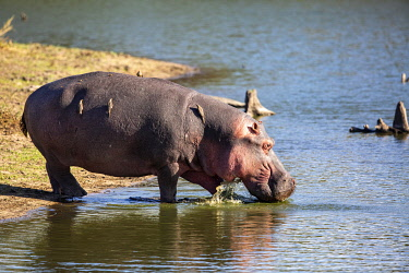 South Africa, Londolozi. Hippopotamus wading into a lake to cool off