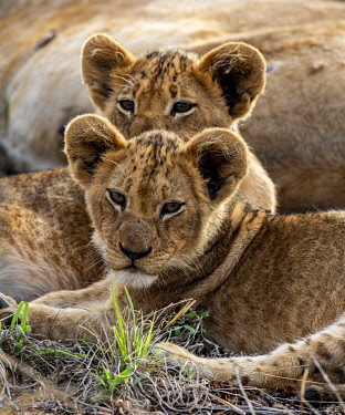 South Africa, Londolozi. Two lion cubs.