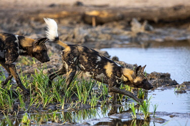 South Africa, Londolozi. Wild dogs crossing a water hole.