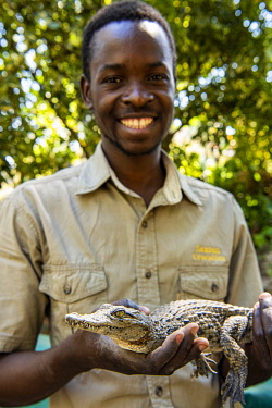 ZIM2711 Victoria Falls, Zimbabwe, Africa. A member of staff holds a young crocodile at the Crocodile Farm.