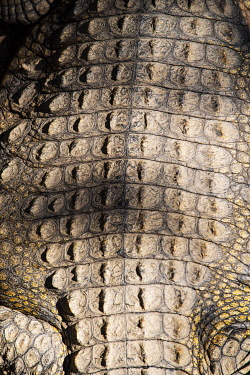 ZIM2716 Victoria Falls, Zimbabwe, Africa.  Detail of the hide of a large mature Nile crocodile basking in the sun