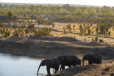 ZIM2735 Hwange National Park, Zimbabwe, Africa.  Herd of African elephants drinking at Masuma Dam