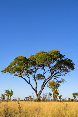 ZIM2740 Hwange National Park, Zimbabwe, Africa.  Striking acacia tree.