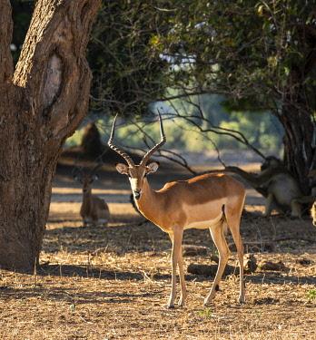 ZIM2793 Mana Pools, Zimbabwe, Africa. Impala ram.