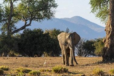 ZIM2795 Mana Pools, Zimbabwe, Africa.Young African elephant.