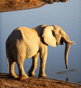 ZIM2828 Hwange National Park, Zimbabwe, Africa.  Elephant drinking at Masuma Dam at sunset.