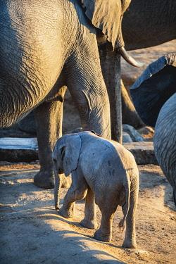 ZIM2834 Hwange National Park, Zimbabwe, Africa.  Baby elephant with its mother at Masuma Dam.