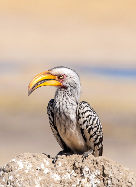 ZIM2839 Hwange National Park, Zimbabwe, Africa.  Yellow-billed hornbill perched on a termite mound