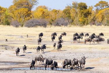 ZIM2853 Hwange National Park, Zimbabwe, Africa.  Wildebeest herd in the savannah