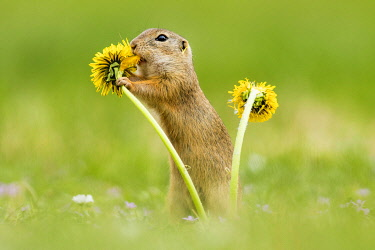 IBXCRU04517031 European ground squirrel (Spermophilus citellus) eating Dandelion (Taraxacum), National Park Neusiedler See, Seewinkel, Burgenland, Austria, Europe