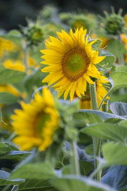 IBXJOR05038387 Sunflowers (Helianthus annuus) in a field, in full bloom, Lower Austria, Austria, Europe