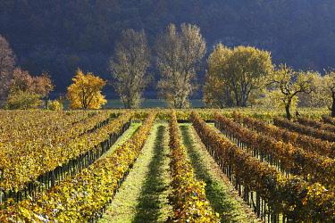 IBXMAN01733289 Vineyards and trees on the Danube river in autumn, Woesendorf, Wachau valley, Waldviertel region, Lower Austria, Austria, Europe