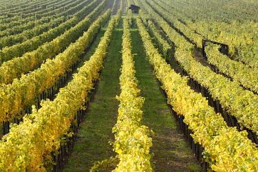 IBXMAN01770881 Autumnal vineyards near Unterloiben, Wachau, Waldviertel, Forest Quarter, Lower Austria, Austria, Europe