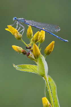 IBXREH04095557 White-legged damselfly (Platycnemis pennipes), male, Burgenland, Austria, Europe