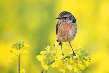 IBLENH04129472 European Stonechat (Saxicola rubicola), female, on Rapeseed (Brassica napus), Emsland, Lower Saxony, Germany, Europe