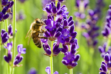 IBLFBD04384004 Carniolan honey bee (Apis mellifera carnica) is collecting nectar at a purple Lavender (Lavandula) blossom, Saxony, Germany, Europe