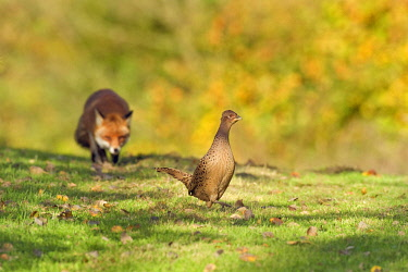 IBLFLP01392126 Common Pheasant (Phasianus colchicus), adult female, being stalked by European Red Fox (Vulpes vulpes), Kent, England, United Kingdom, Europe