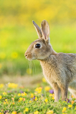 IBLFLP01393766 European Rabbit (Oryctolagus cuniculus), adult, standing alert, on coastal grassland, North Downs, Folkestone, Kent, England, United Kingdom, Europe