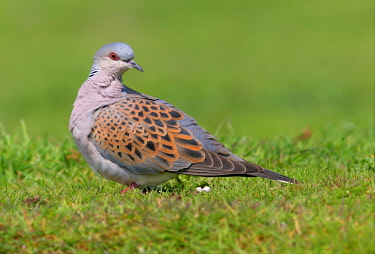 IBLFLP01409310 Eurasian Turtle-dove (Streptopelia turtur), adult on ground, Norfolk, England, United Kingdom, Europe