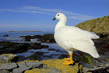 IBLFLP01439953 Kelp Goose (Chloephaga hybrida), adult male, standing on rock in coastal habitat, Sea Lion Island, Falkland Islands, South Atlantic Ocean, South America