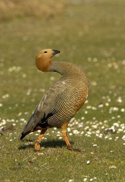IBLFLP01439955 Ruddy-headed Geese (Chloephaga rubidiceps), adult, walking, Bleaker Island, Falkland Islands, South Atlantic Ocean, South America