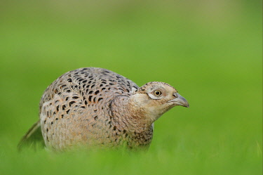 IBLFLP01443233 Common Pheasant (Phasianus colchicus), adult female, foraging, standing on grass, Oxfordshire, England, United Kingdom, Europe
