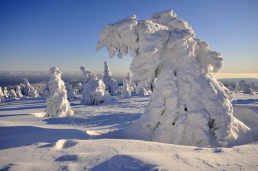 IBLKKP02346014 Snow covered pines on Brocken Mountain, Harz, Saxony-Anhalt, Germany, Europe