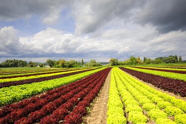 IBLMKL01929656 Leaf lettuce (Lactuca sativa var crispa) in a field, Reichenau island, Landkreis Konstanz county, Baden-Wuerttemberg, Germany, Europe
