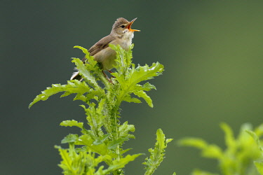 IBLMMV04375894 Marsh Warbler (Acrocephalus palustris) calling, male on song post, Middle Elbe Biosphere Reserve, Saxony-Anhalt, Germany, Europe