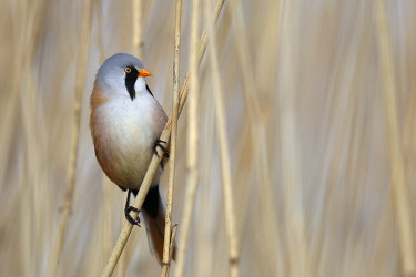 Male bearded reedling (Panurus biarmicus) on reed, Naturpark Flusslandschaft Peenetal, Mecklenburg-Western Pomerania, Germany, Europe