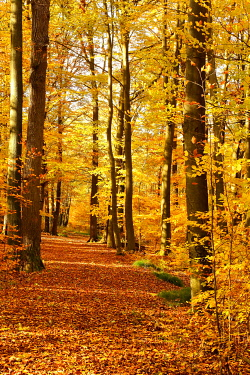 IBXBSA05038419 Herbstwald, Common beech (Fagus sylvatica), glows in yellow tones, Siegerland, North Rhine-Westphalia, Germany, Europe
