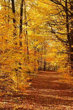 IBXBSA05038420 Herbstwald, Common beech (Fagus sylvatica), glows in yellow tones, Siegerland, North Rhine-Westphalia, Germany, Europe