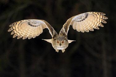 IBXBZO04911538 Siberian Eagle Owl (Bubo bubo sibiricus), adult female in flight, captive, Bohemia, Czech Republic, Europe